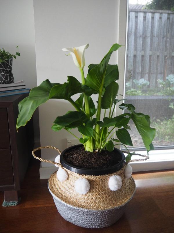 arum lily indoor plant