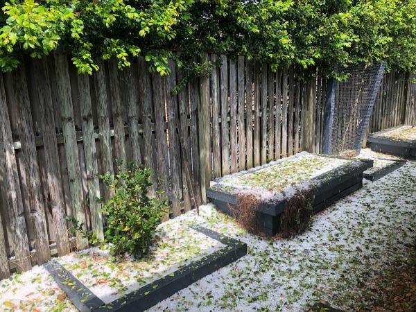 hail damages veggie garden