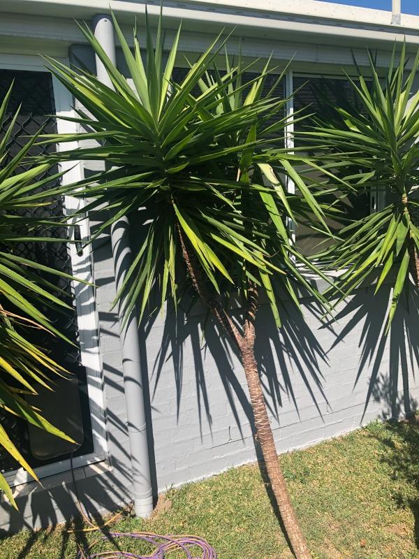 yakka plants cuttings
